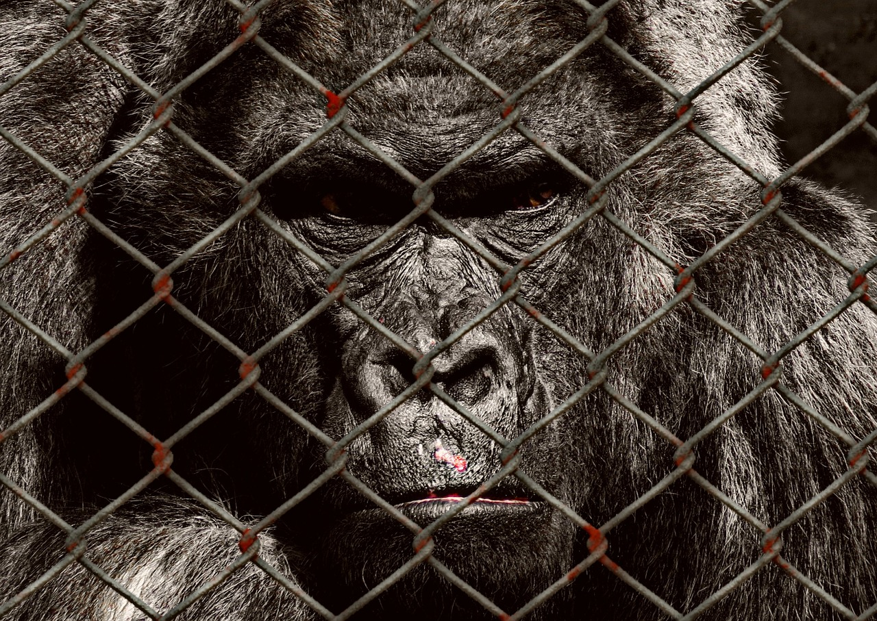 animal welfare gorilla imprisoned free photo