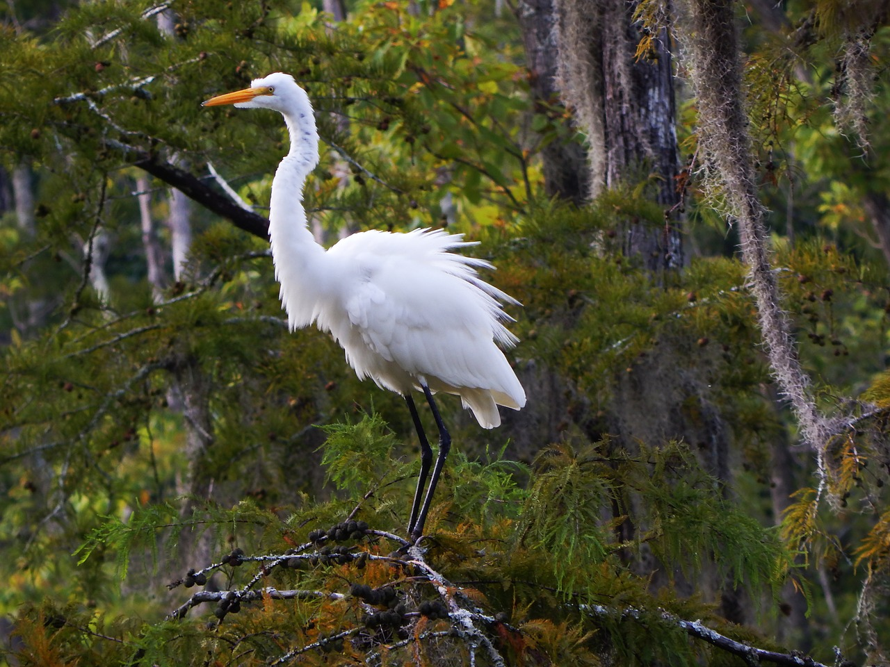 animals birds great egret free photo