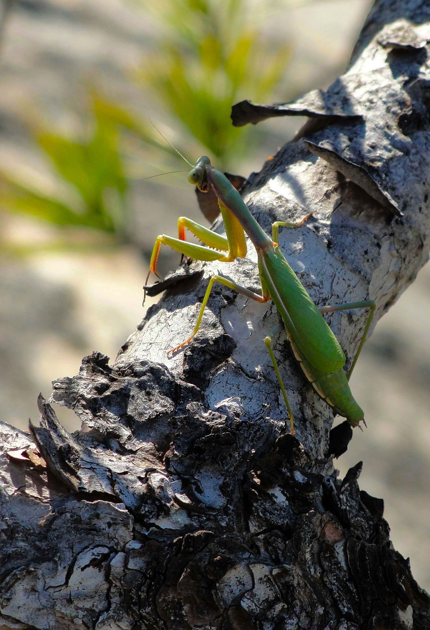 animals insects mantis religiosa free photo