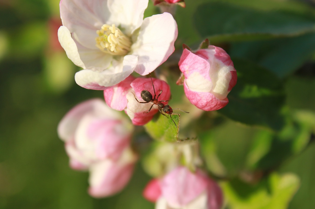 ant apple blossom free photo