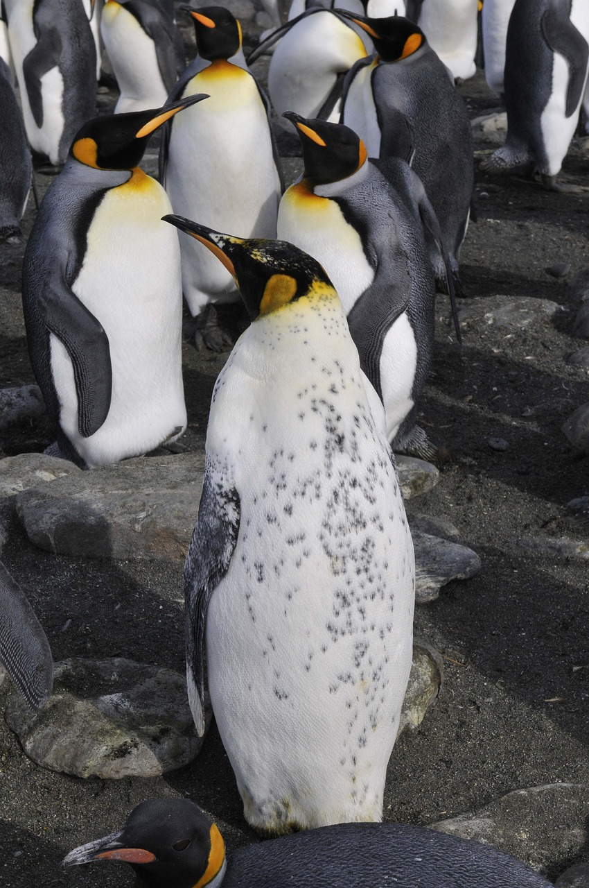 antarctica  penguins  southern ocean free photo