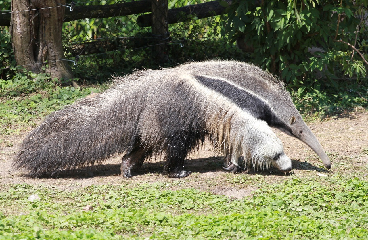 anteater fauna pilosa free photo