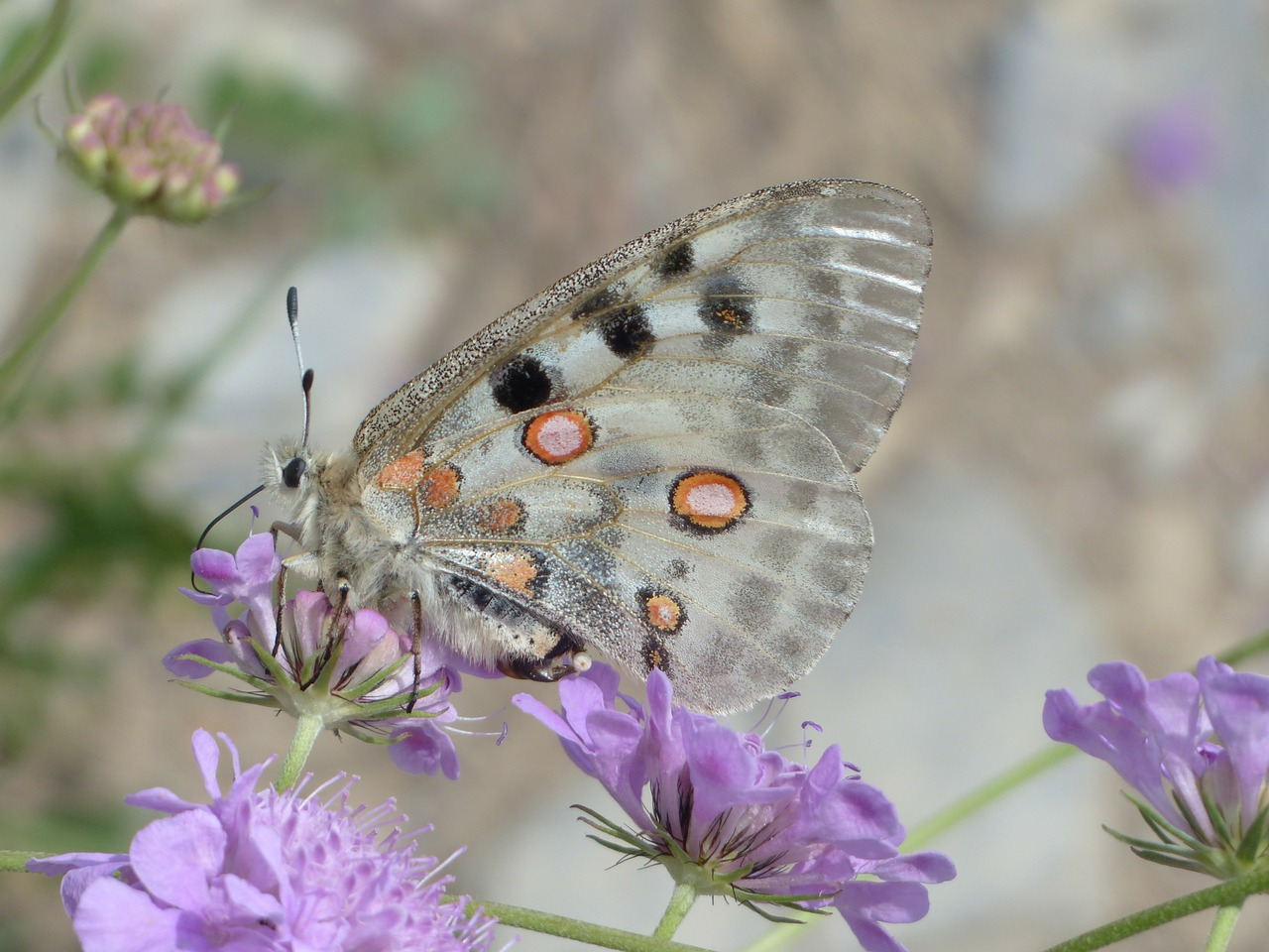 apollo butterfly apollofalter free photo