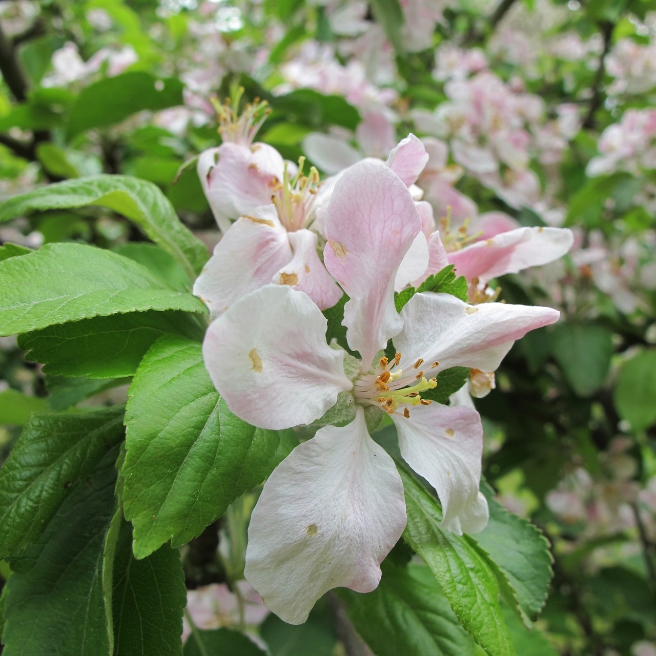 apple blossom bloom free photo