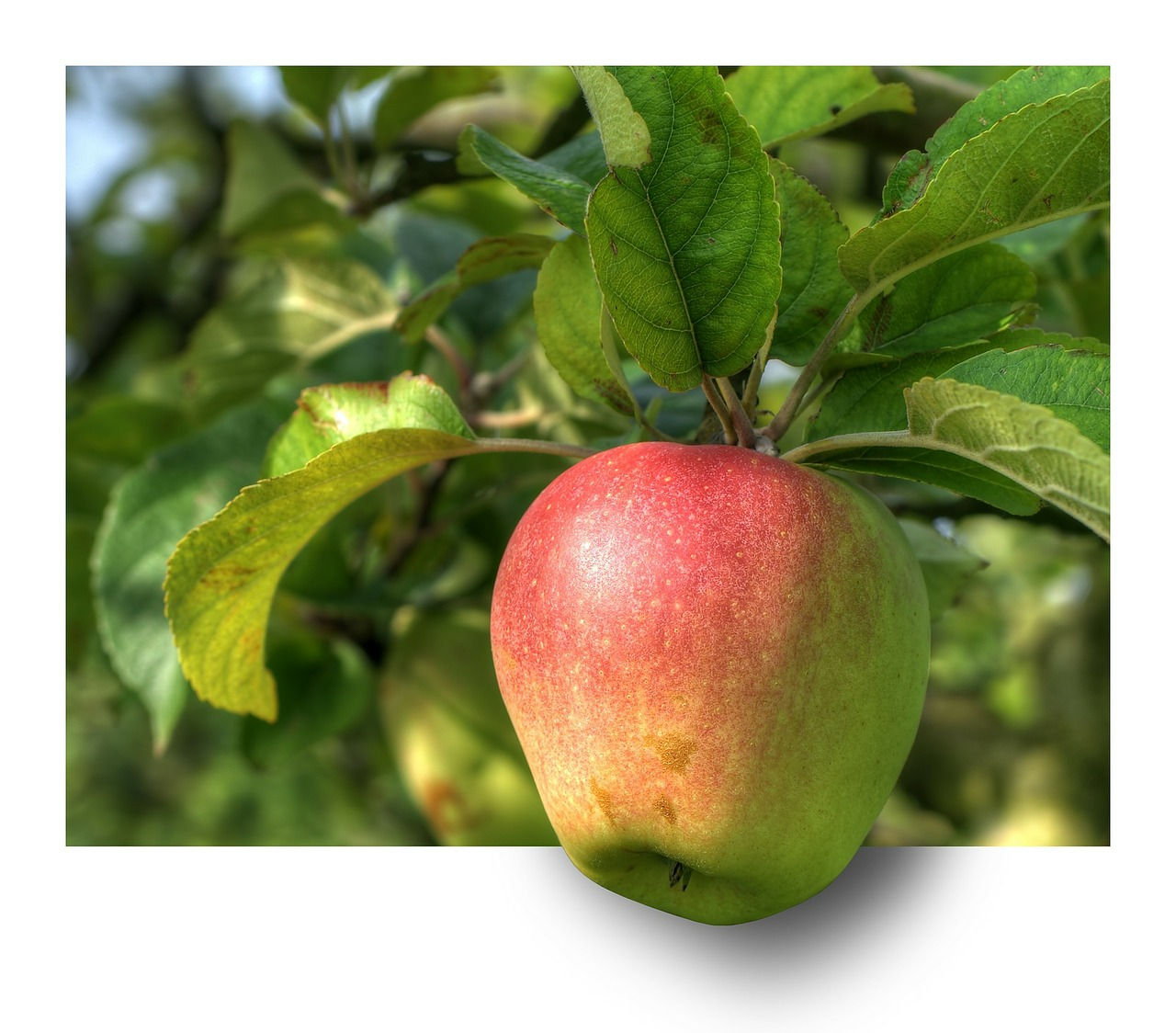 apple fruit apple tree free photo