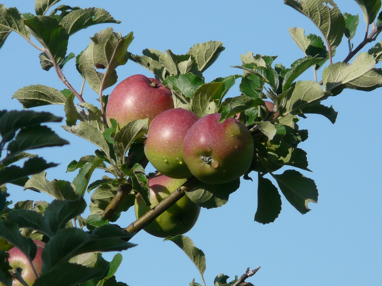 apple apple tree red free photo