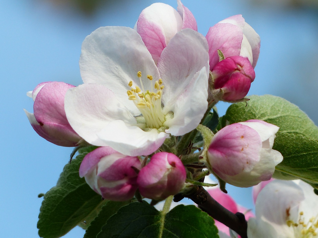 apple blossom,apple tree,blossom,bloom,white,pink,branch,leaves,malus,kernobstgewaechs,large,rose greenhouse,rosaceae,apple tree blossom,spring,apple,nature,free pictures, free photos, free images, royalty free, free illustrations, public domain