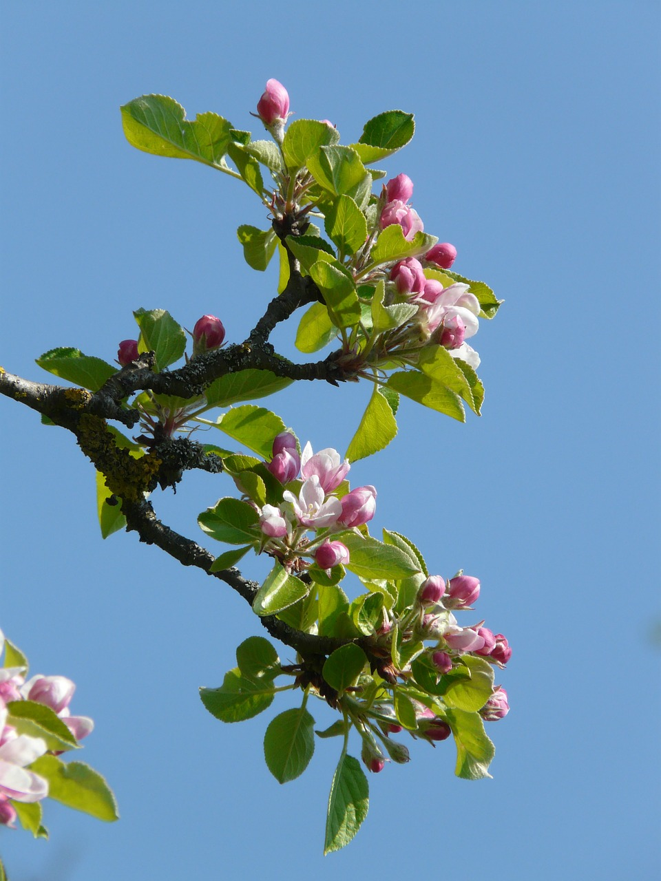apple blossom apple tree blossom free picture
