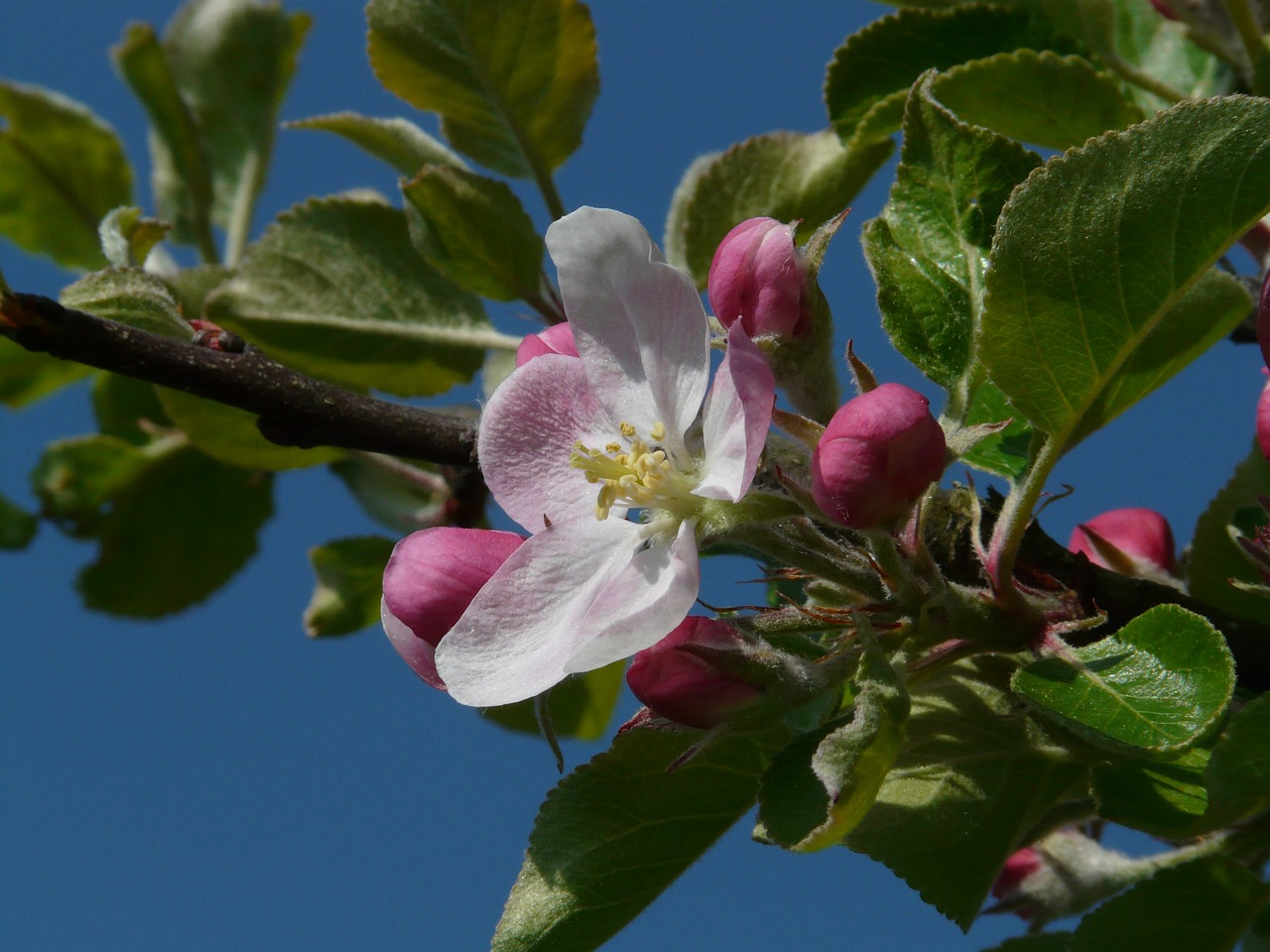 apple blossom,apple tree,blossom,bloom,bloom,pink,tree,branch,spring,beautiful,free pictures, free photos, free images, royalty free, free illustrations, public domain