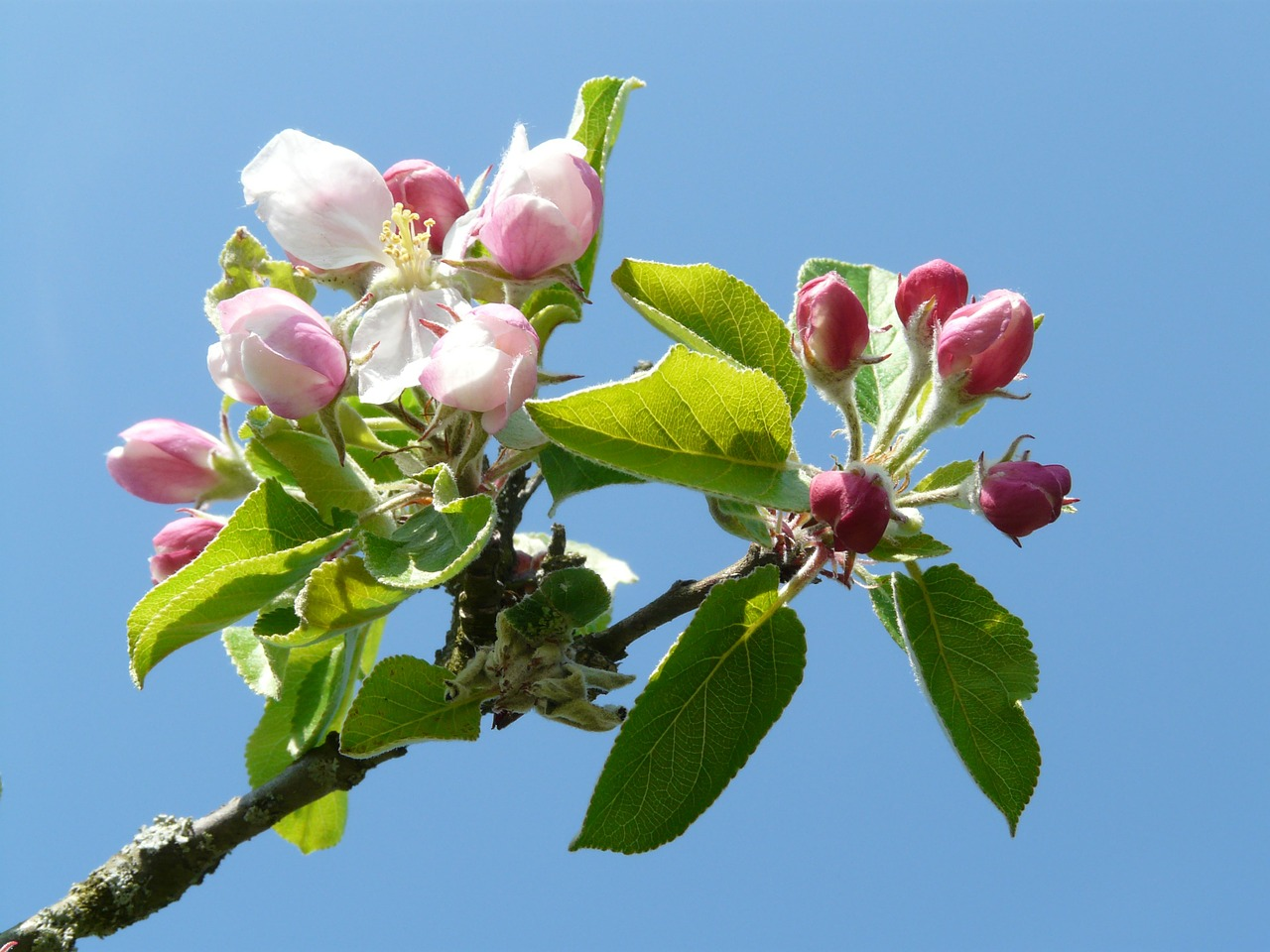 apple blossom apple tree blossom free photo