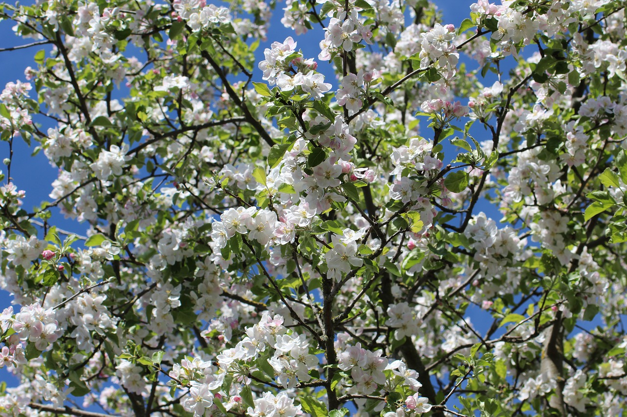 Apple Blossomsflowersspringapple Tree Flowersfruit Free Photo