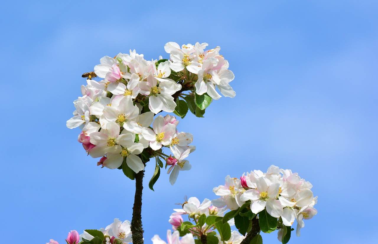 apple blossoms  apple tree  tree blossoms free photo