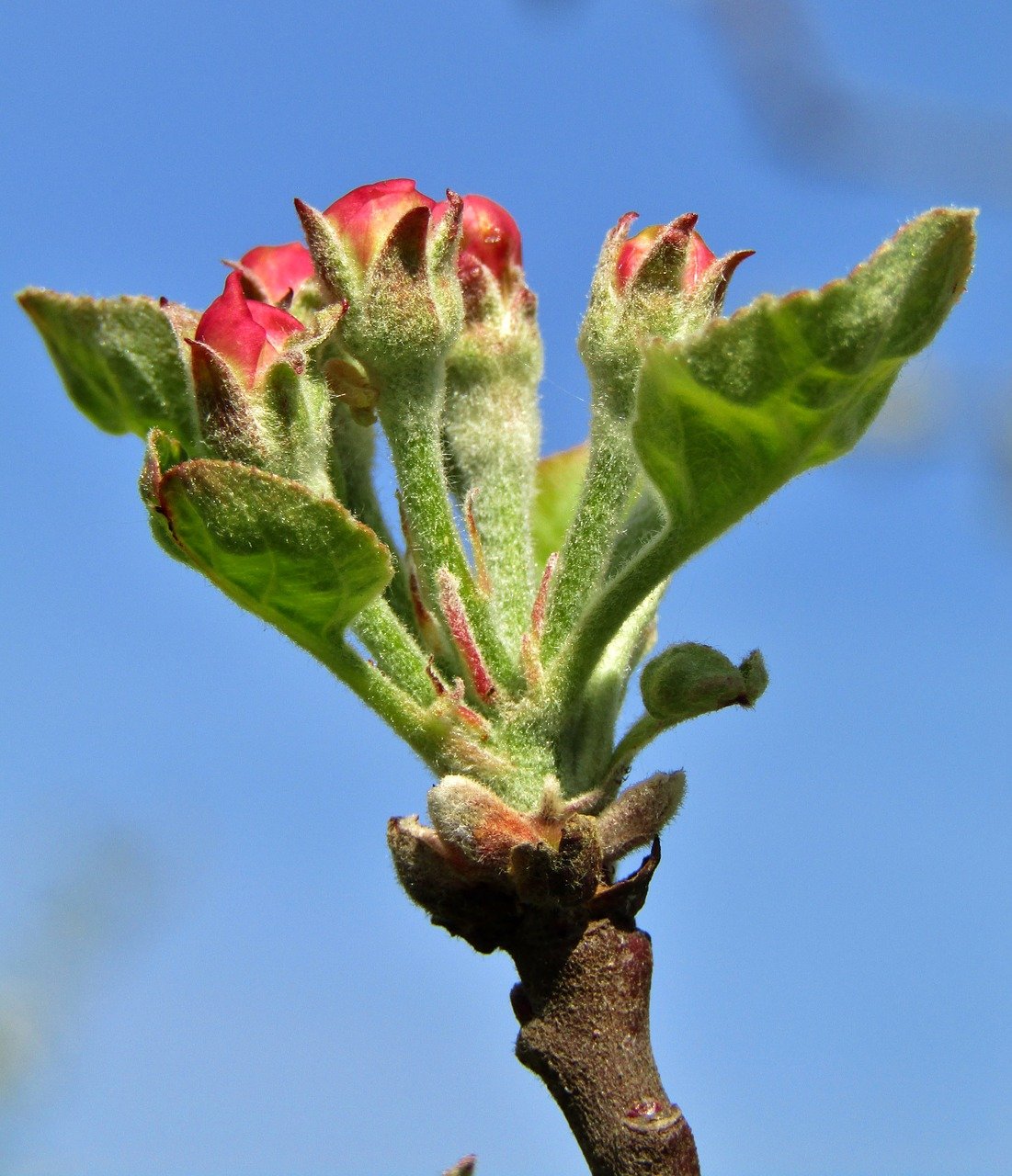 apple flower bud  bud  pink free photo