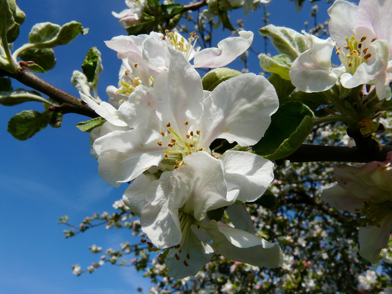apple tree blossom apple blossom blossom free photo