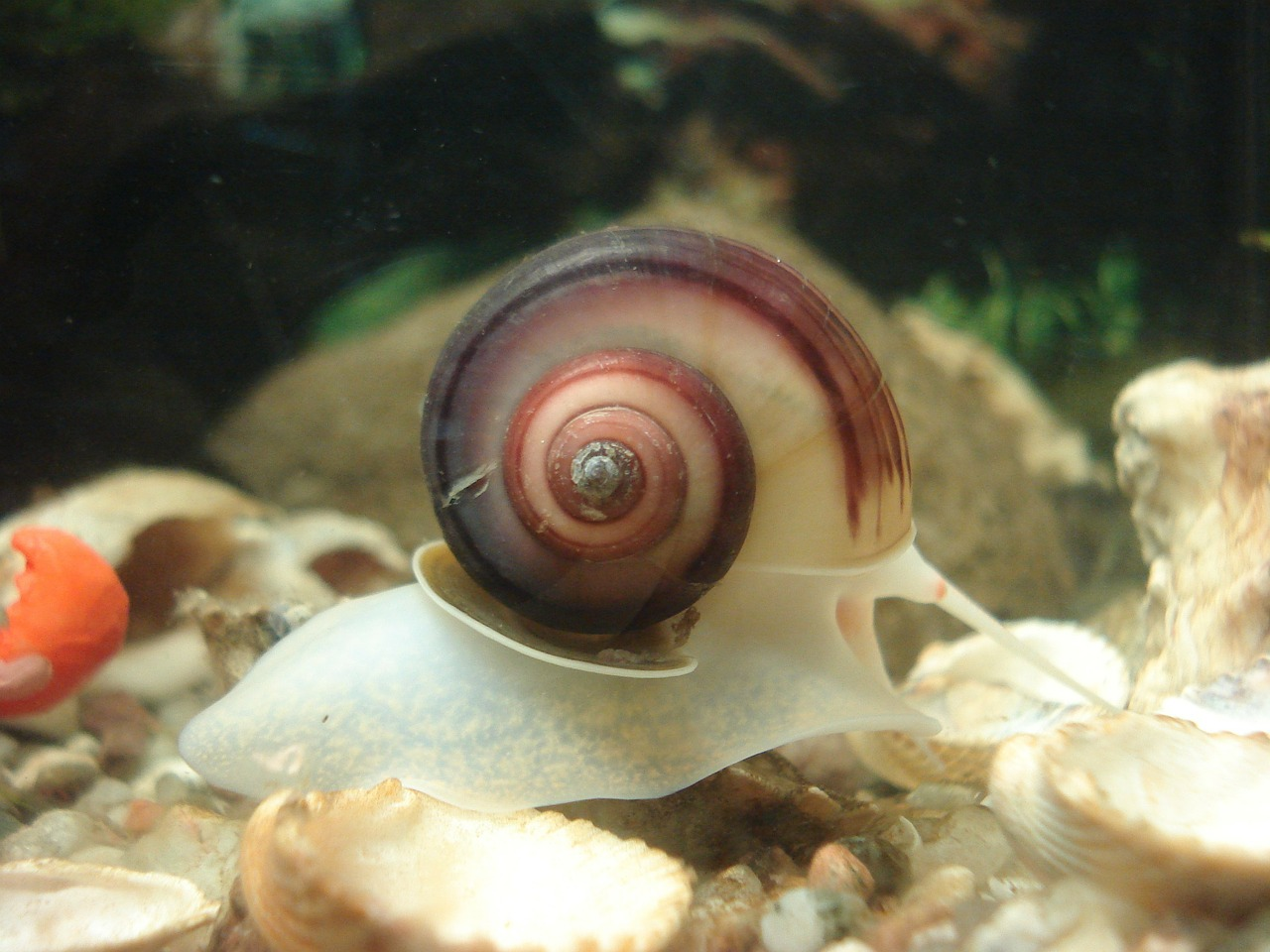aquarium snail planorbarius corneus free photo