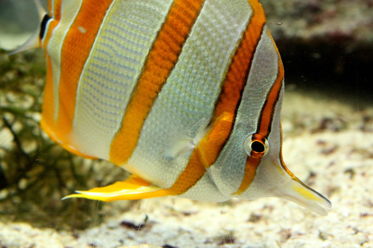 aquarium,fish,striped,yellow and white,free pictures, free photos, free images, royalty free, free illustrations