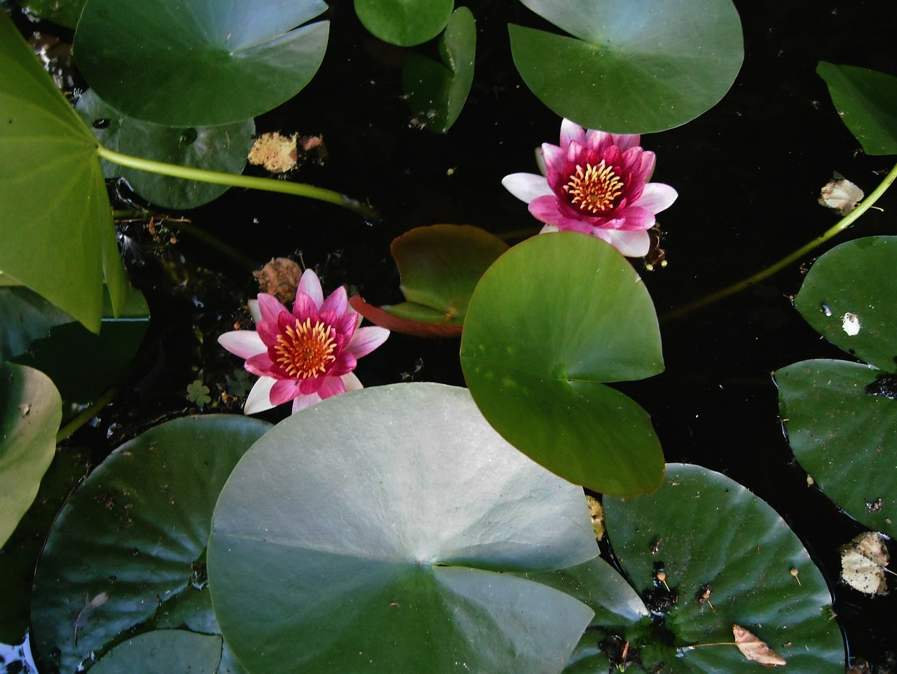 aquatic plant water lilies flowers free photo