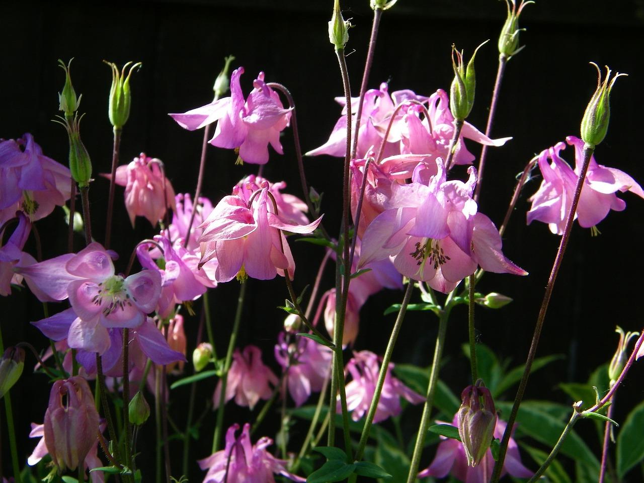 aquilegia flower granny's bonnet free photo