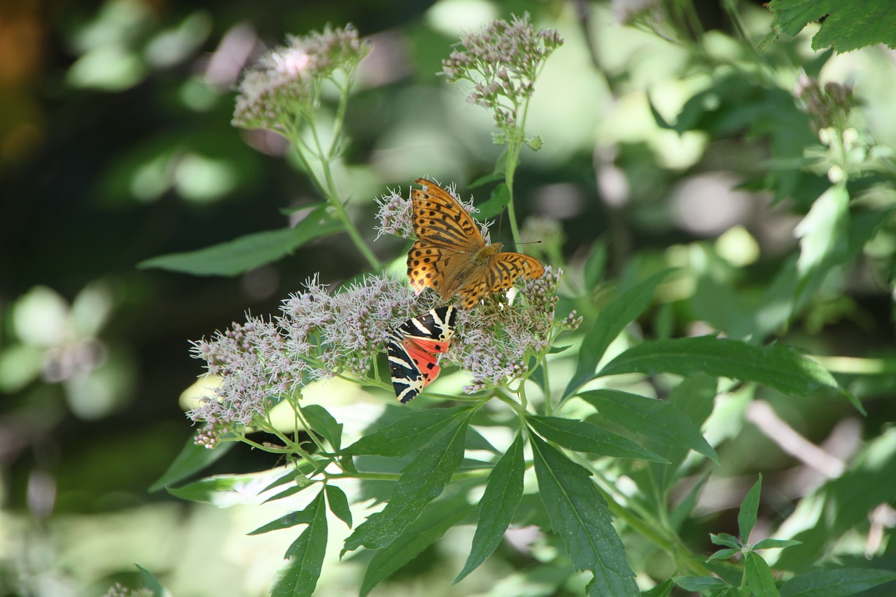 arctiidae butterfly cannabinum free photo