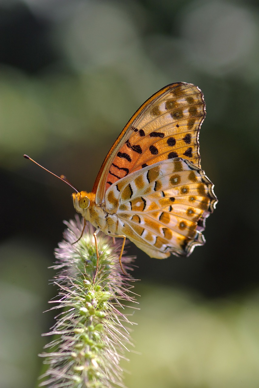 argynnis hyperbius butterfly indian fritillary free photo