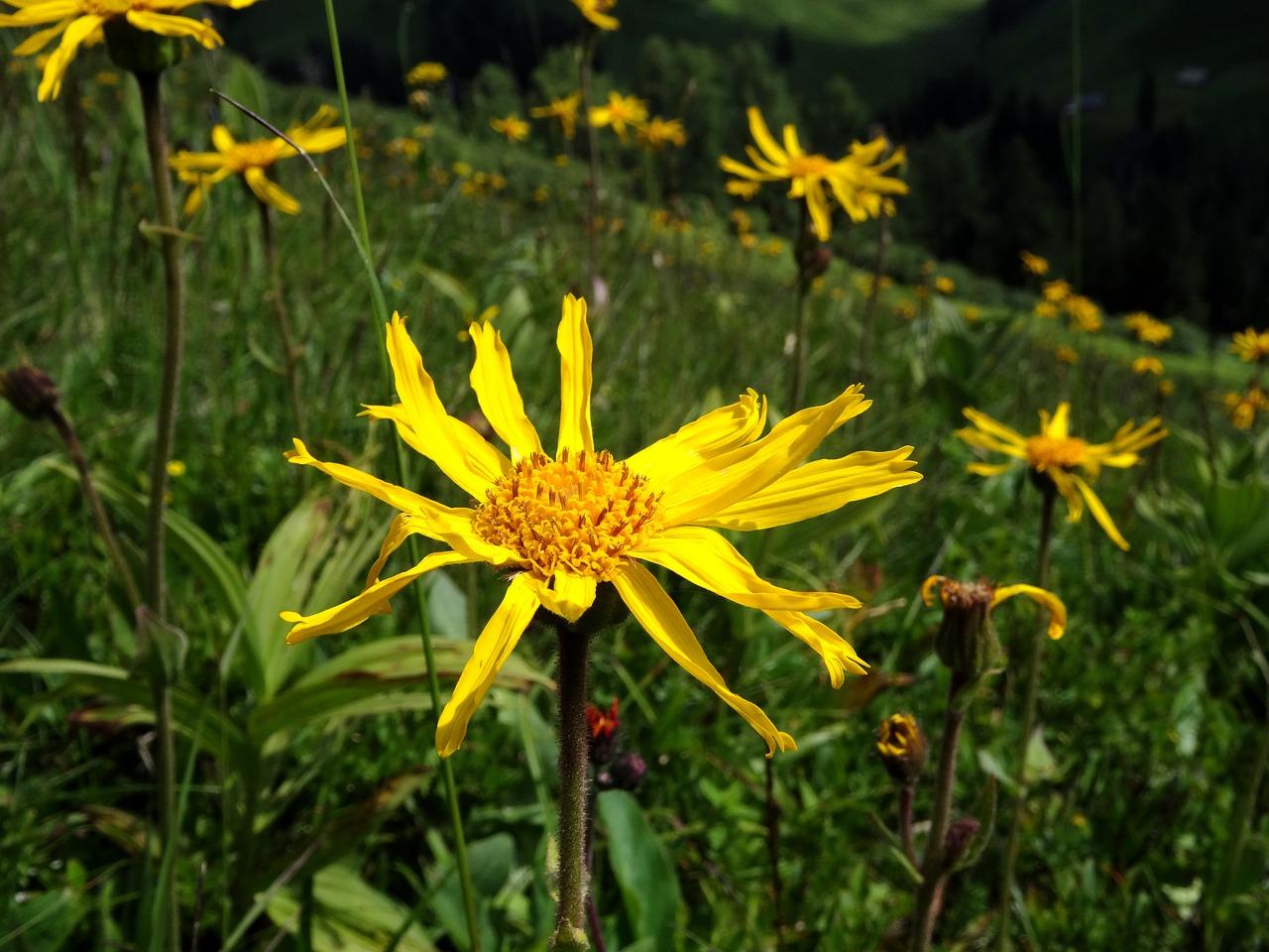 Arnicaarnica Montanamountain Well To Hireyellowmedicinal Plant