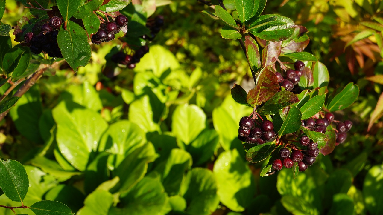 aronia berry autumn free photo