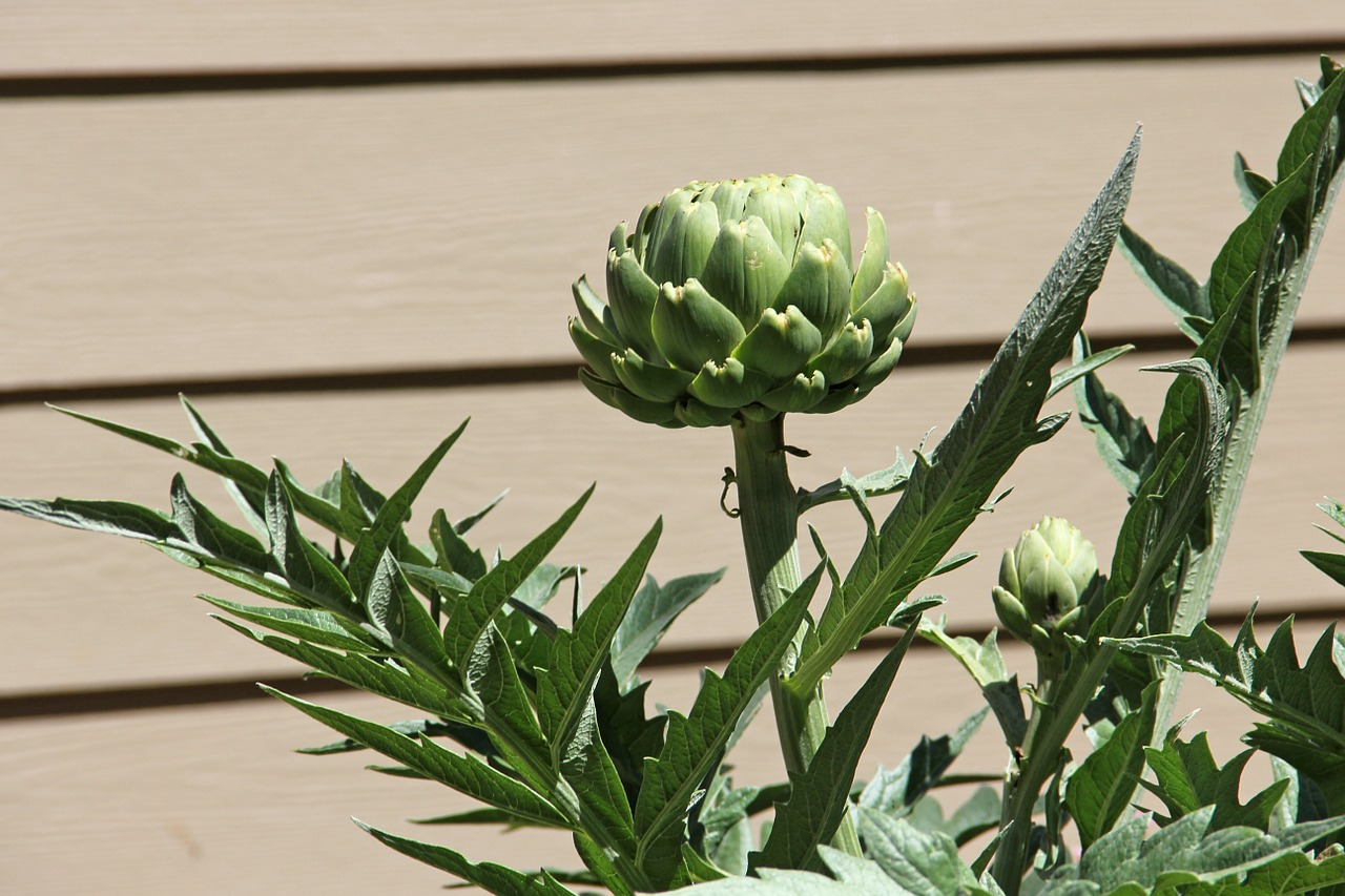 artichoke vegetable plant free photo