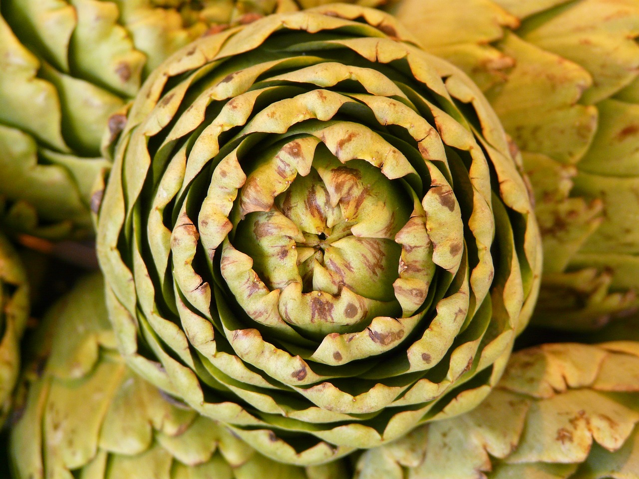 artichoke vegetables plant free picture