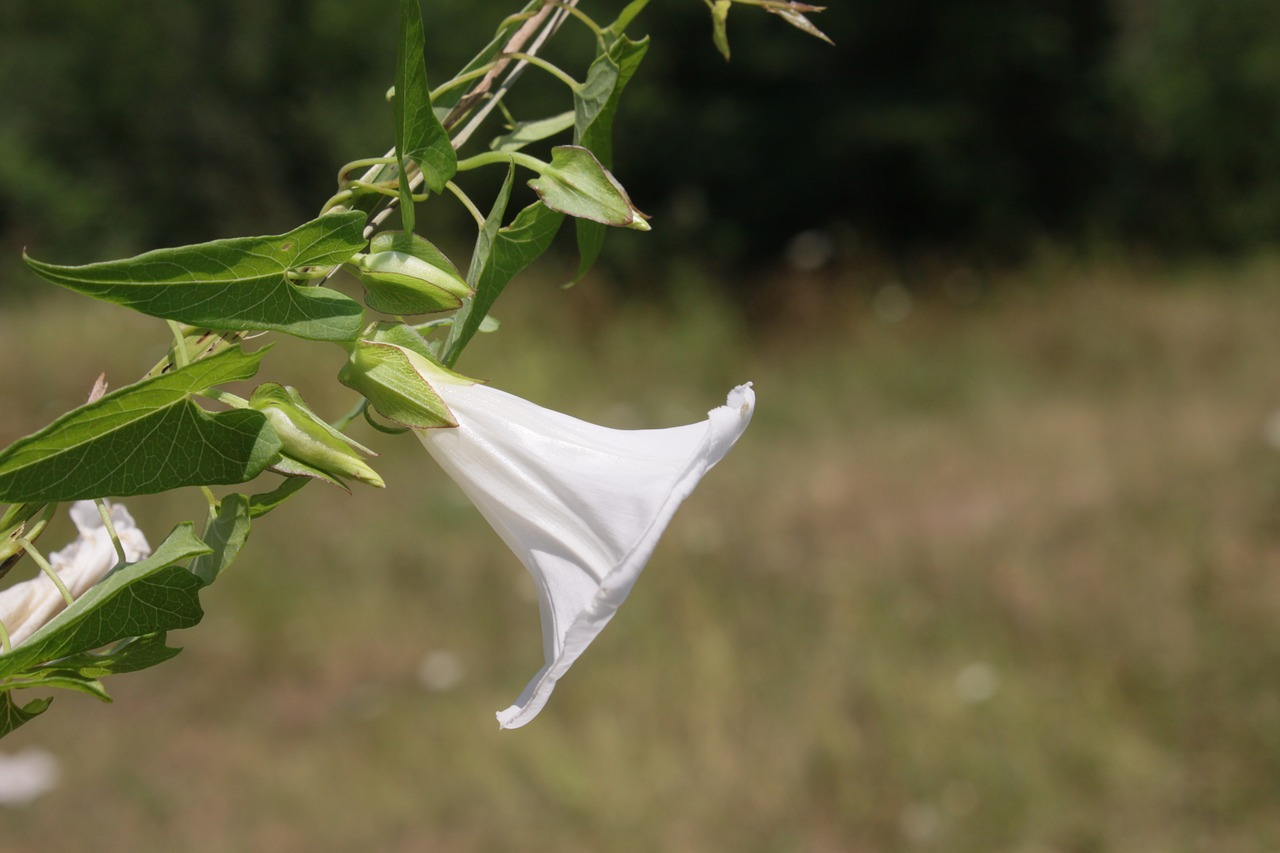 arvensis bindweed climbing free photo
