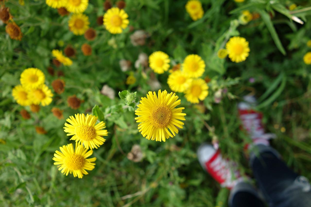 Asterflowerasteraceaeyellow Flowerwild Flower Free Photo From