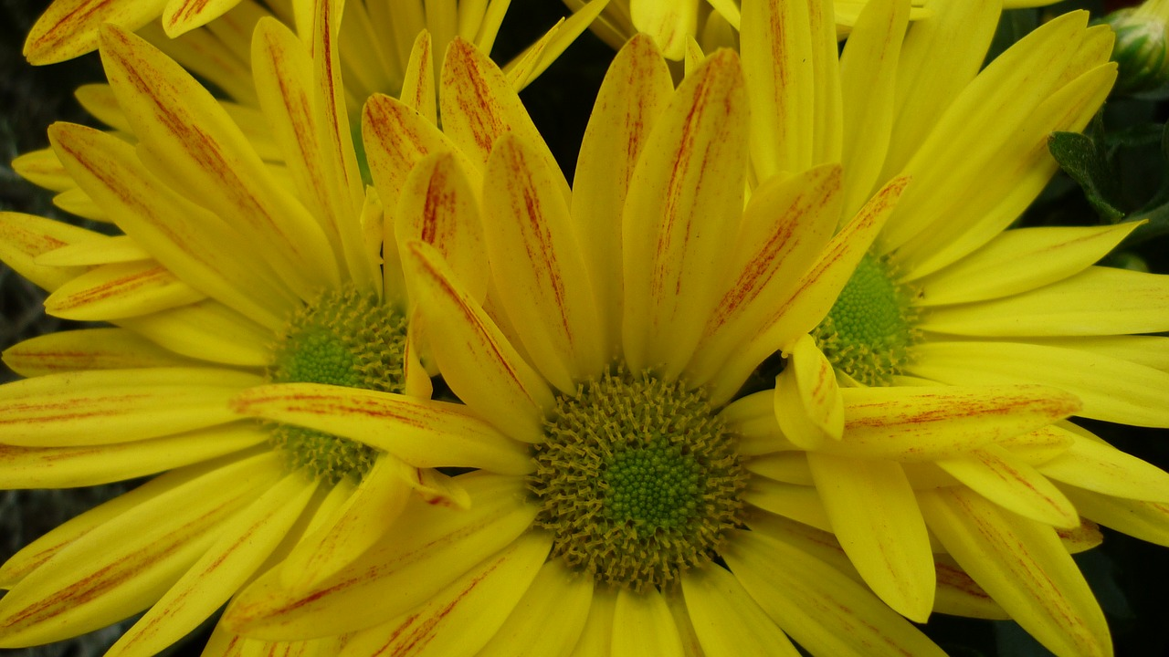 Asterfloweryellowblossombloom Free Photo From Needpix
