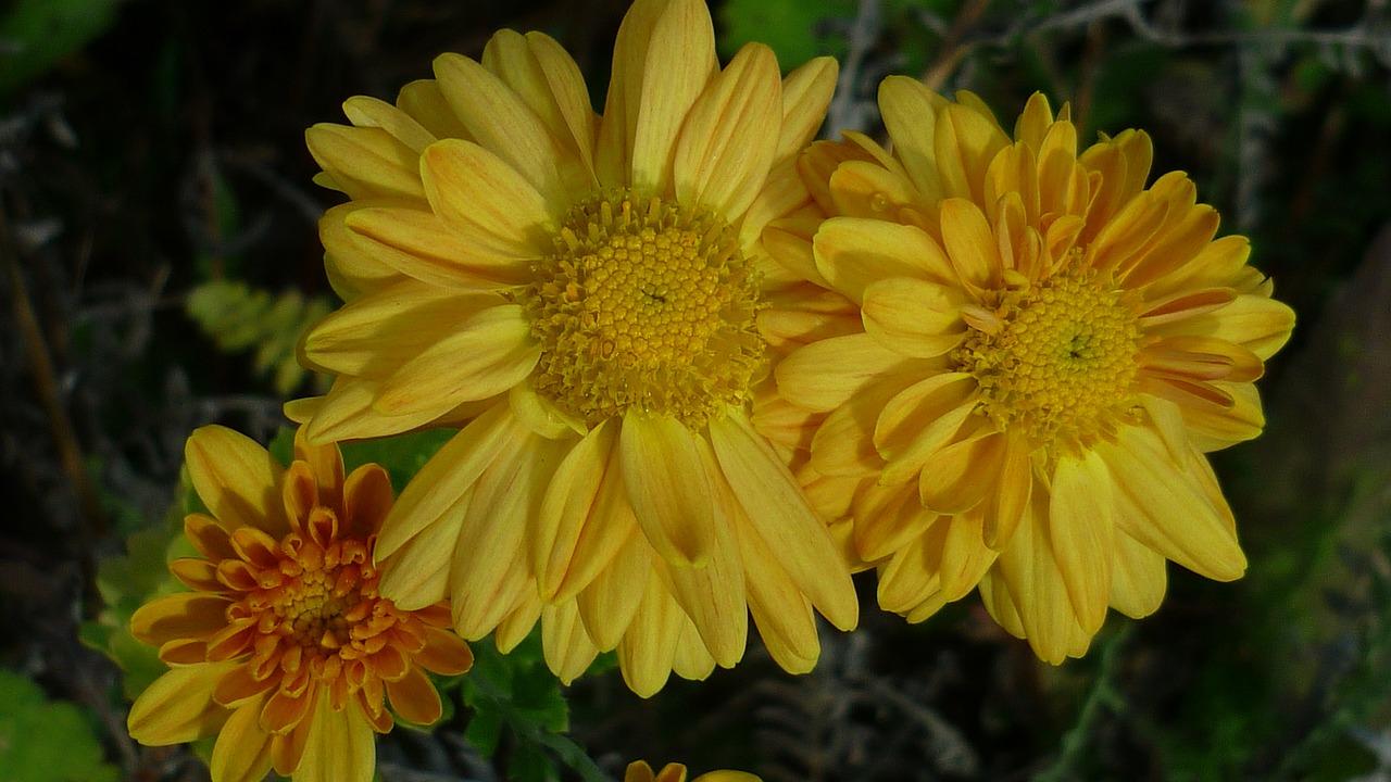 Asterfloweryellowmeadowplanted Free Photo From Needpix