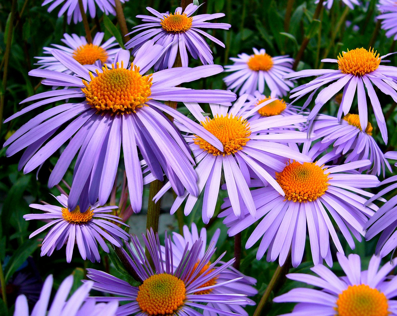 aster tongolensis michelmas daisy mauve free photo