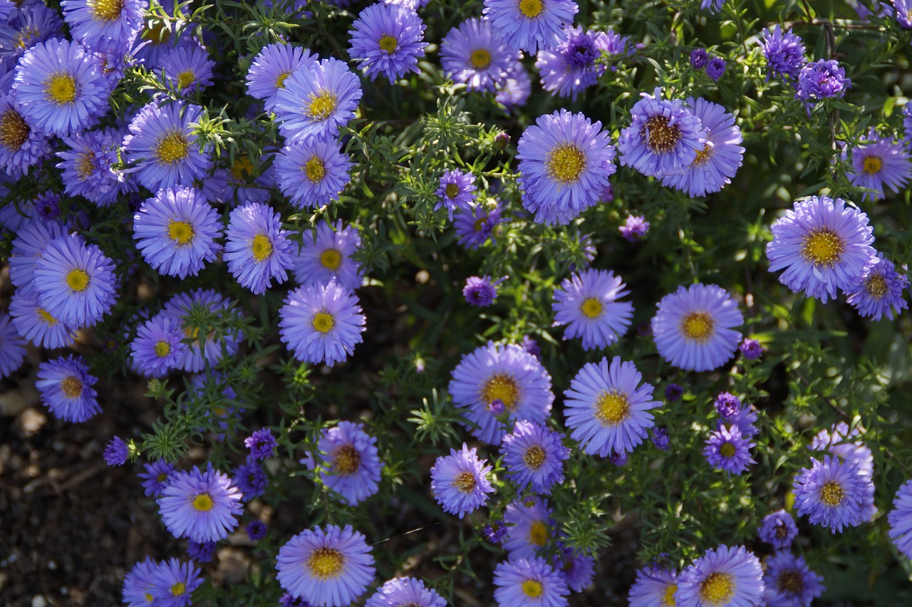 asters blue blue flowers free photo
