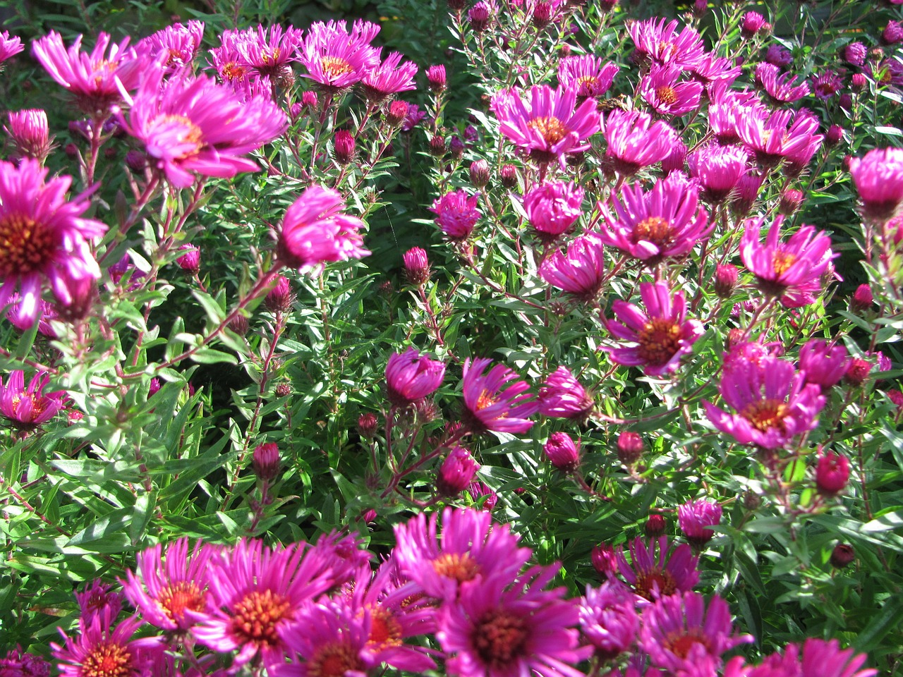 asters flowers autumn free photo