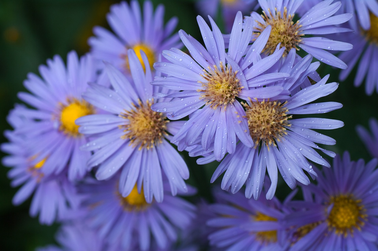 asters purple flower free photo