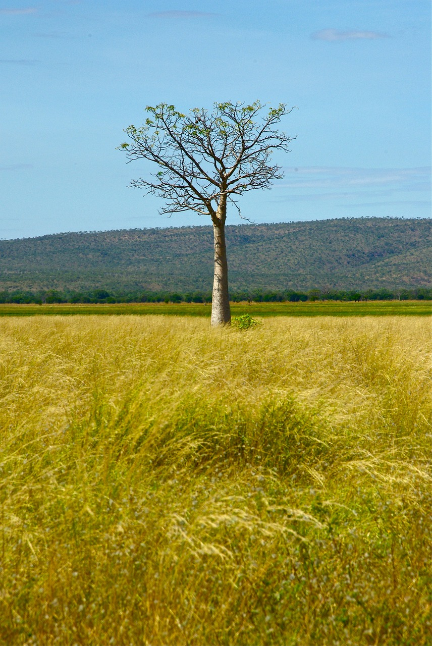 australia tree outback free picture