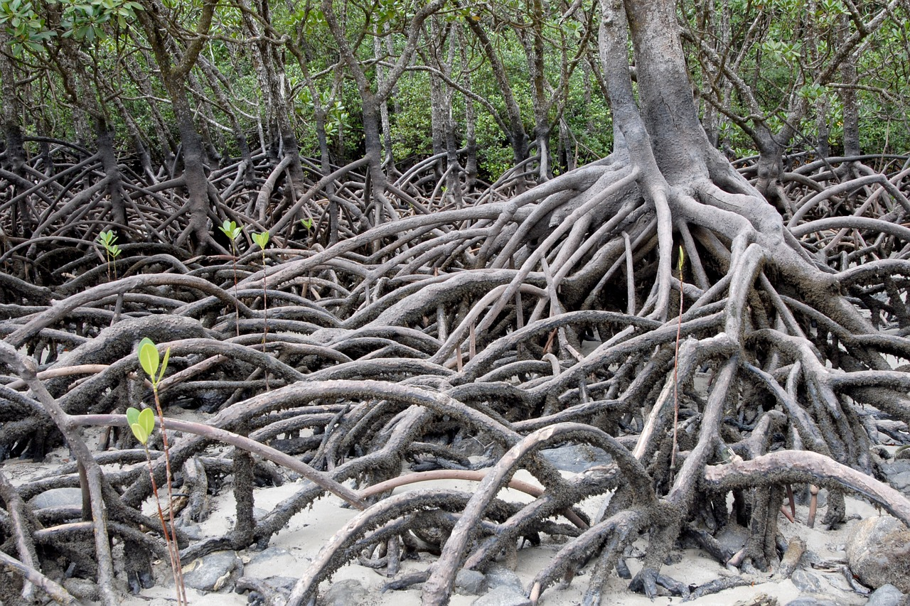 australia mangroves plant free photo