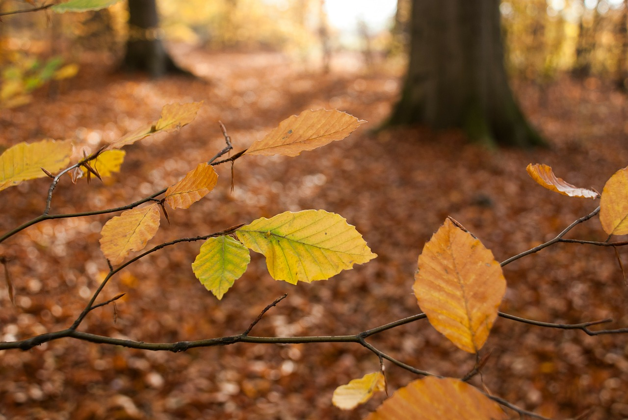 autumn leaves beech free photo