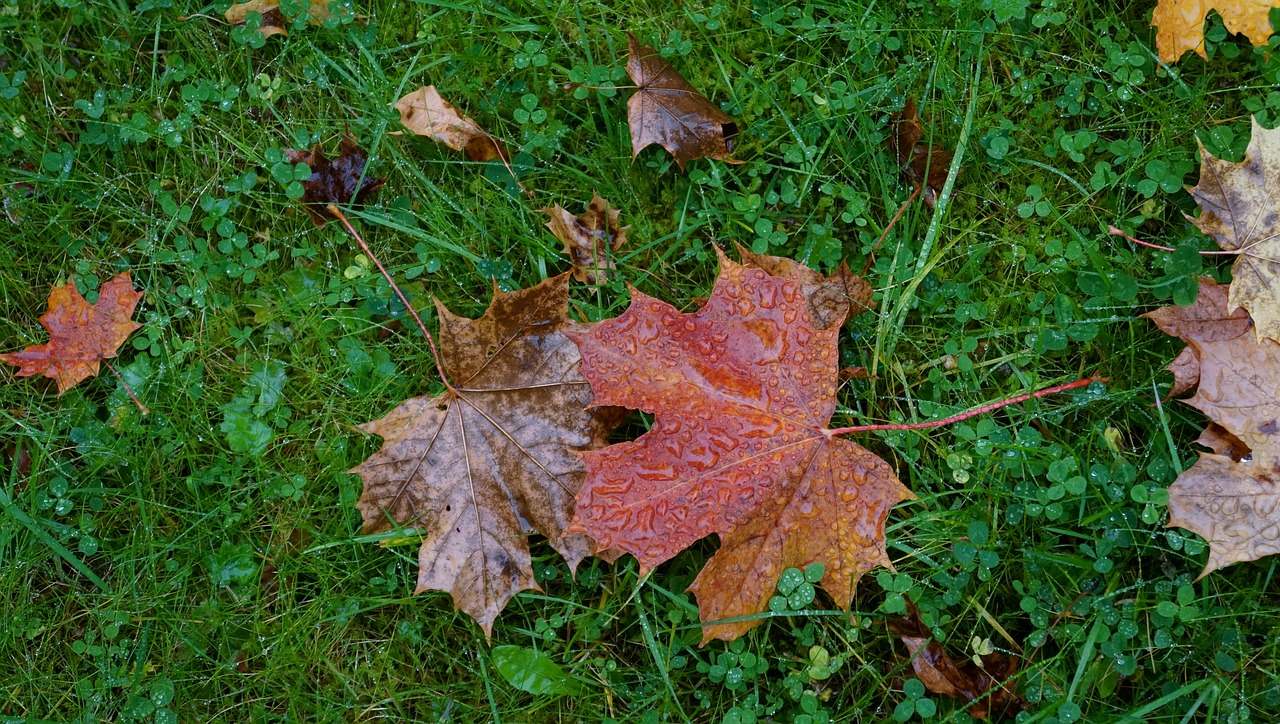 autumn,fallen leaves,maple leaf,dropped,on the ground,we are two old,free pictures, free photos, free images, royalty free, free illustrations, public domain