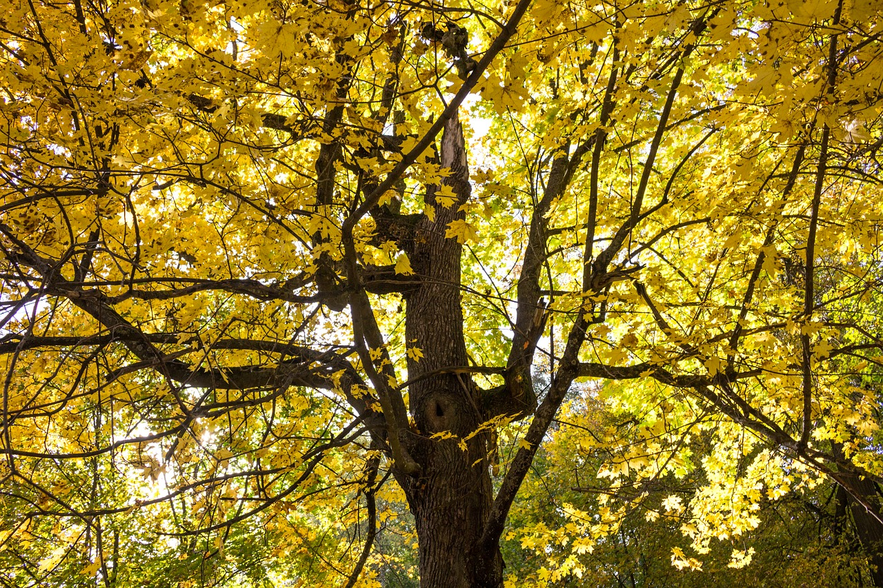 autumn,yellow,leaves,yellow leaves,golden autumn,autumn leaf,golden,yellow sheet,tree,forest,fall colors,bright autumn,park,listopad,maple,free pictures, free photos, free images, royalty free, free illustrations, public domain