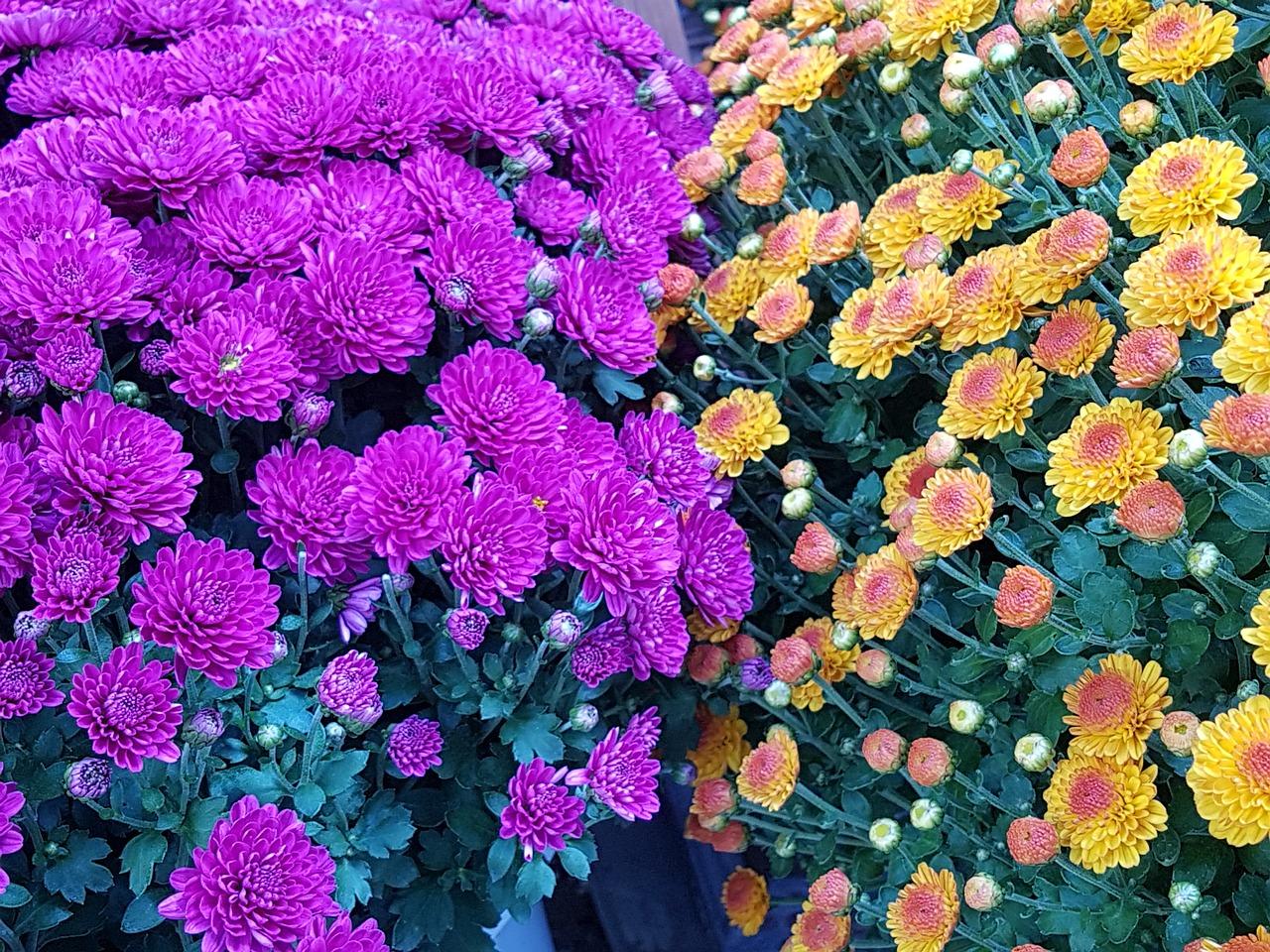 Autumnbecomingkogikupinkfall flowers free photo from needpix autumnbecomingkogikupinkfall flowersnaturefree pictures mightylinksfo