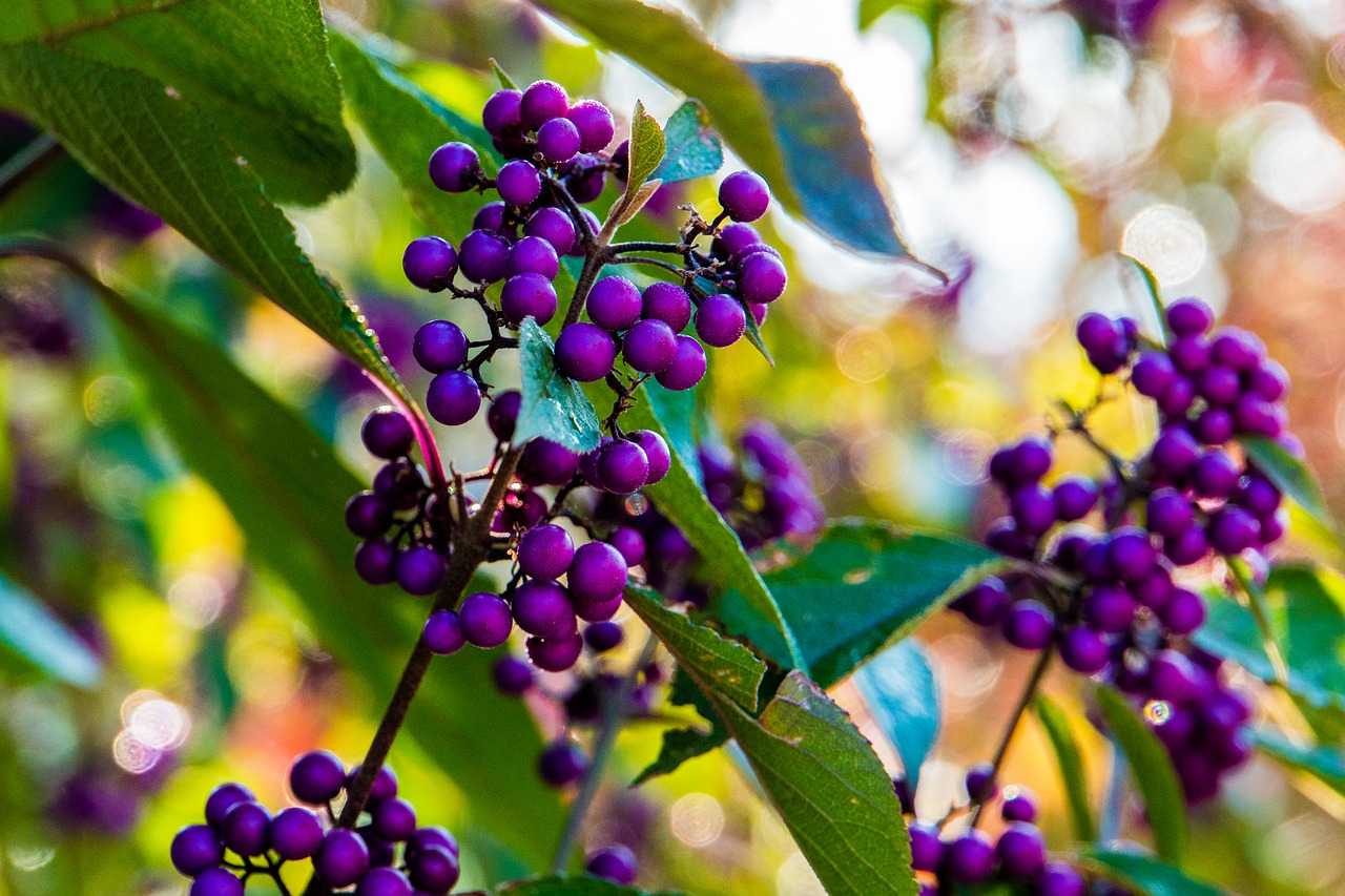 Autumn Berries Purple Violet Nature Free Image From Needpix Com