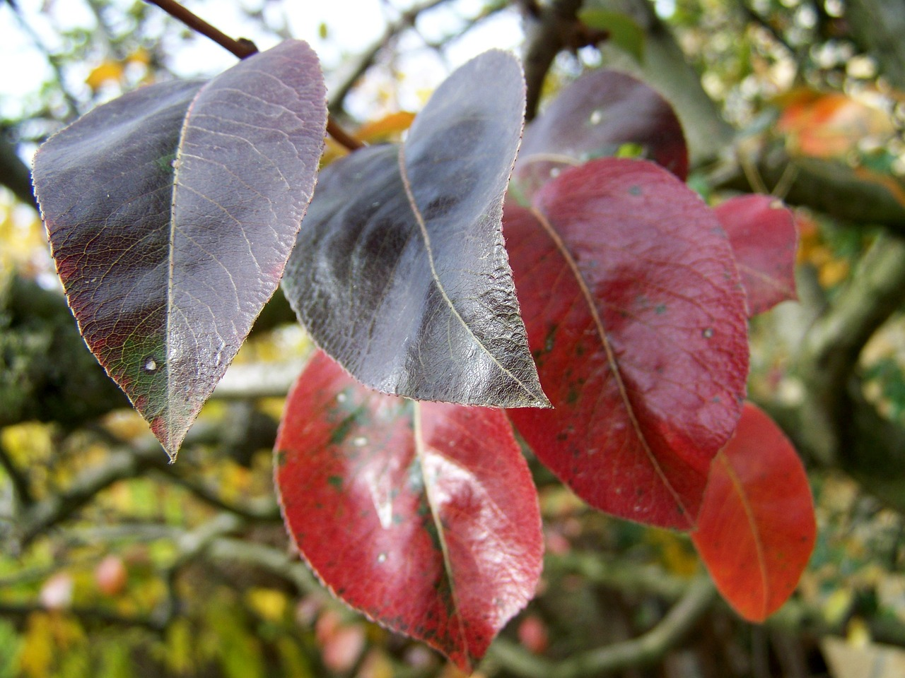 autumn  discoloration  leaves free photo