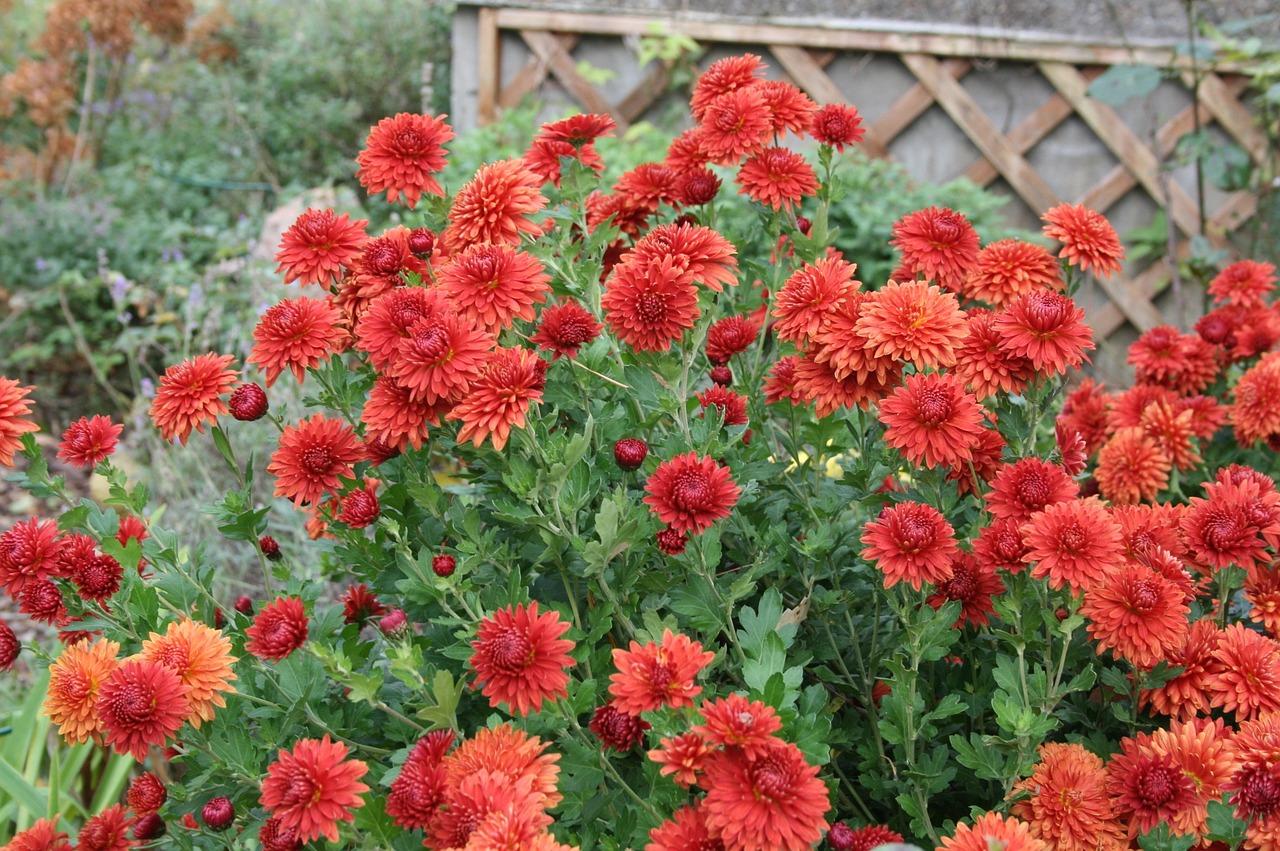 Autumn Flowersastersautumnautumn Decorationinflorescences Free