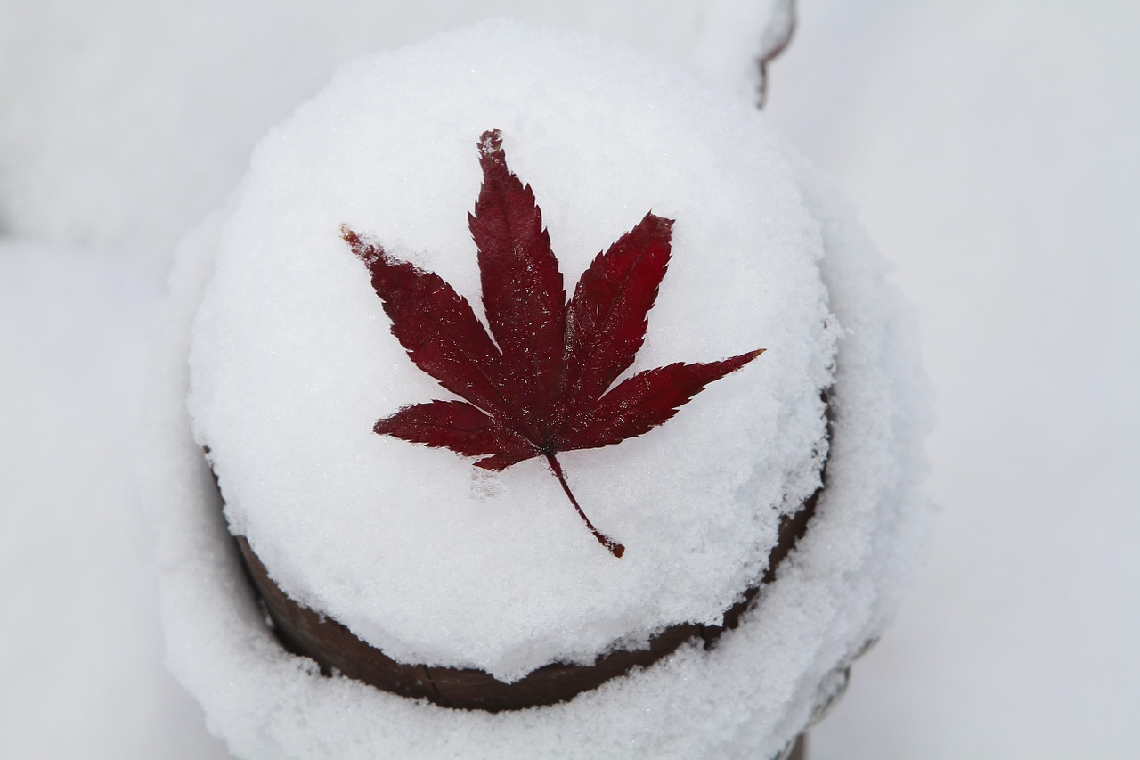 autumn leaves snow winter free photo