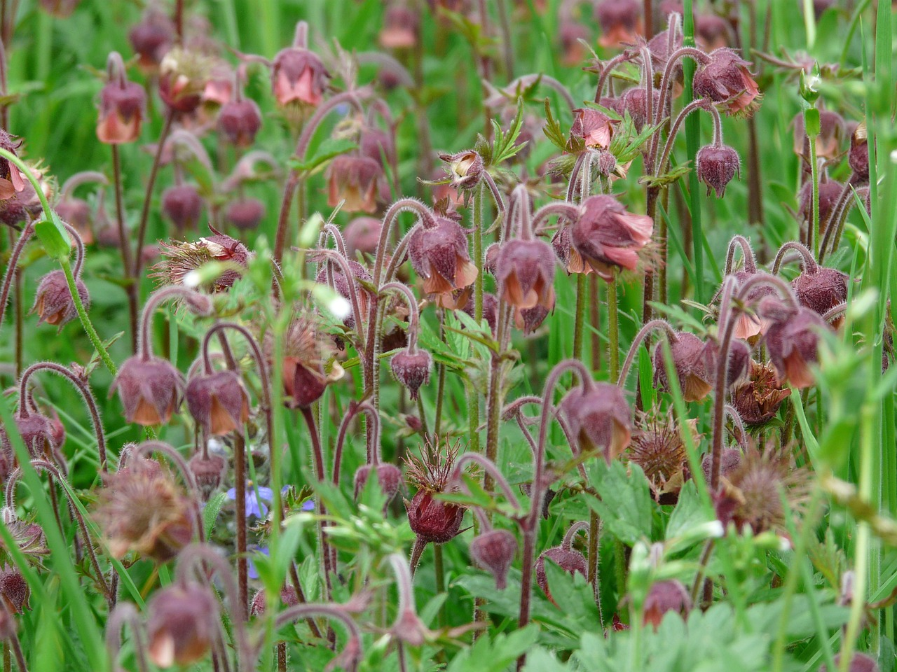 avens pointed flower blossom free picture