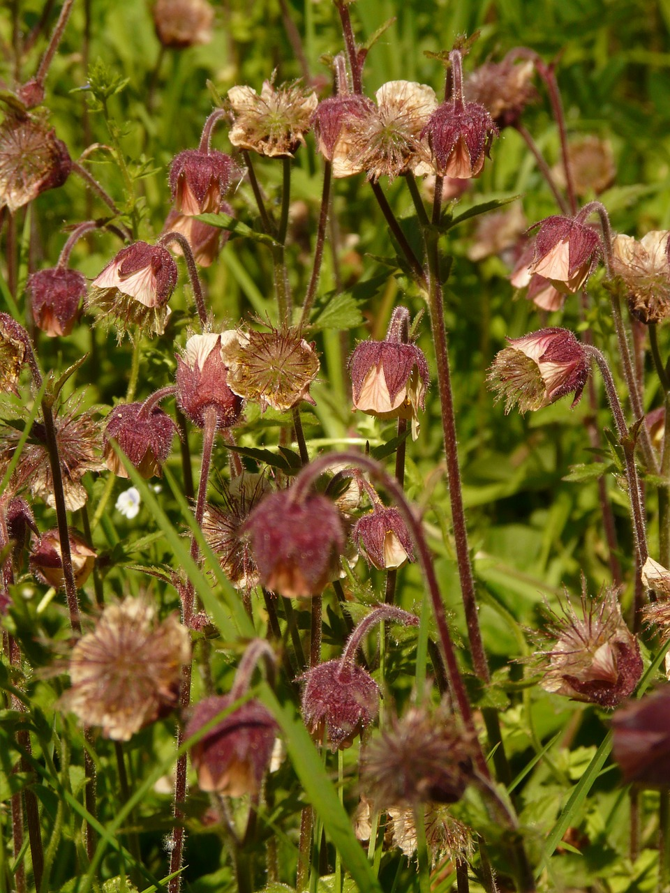 avens pointed flower blossom free photo