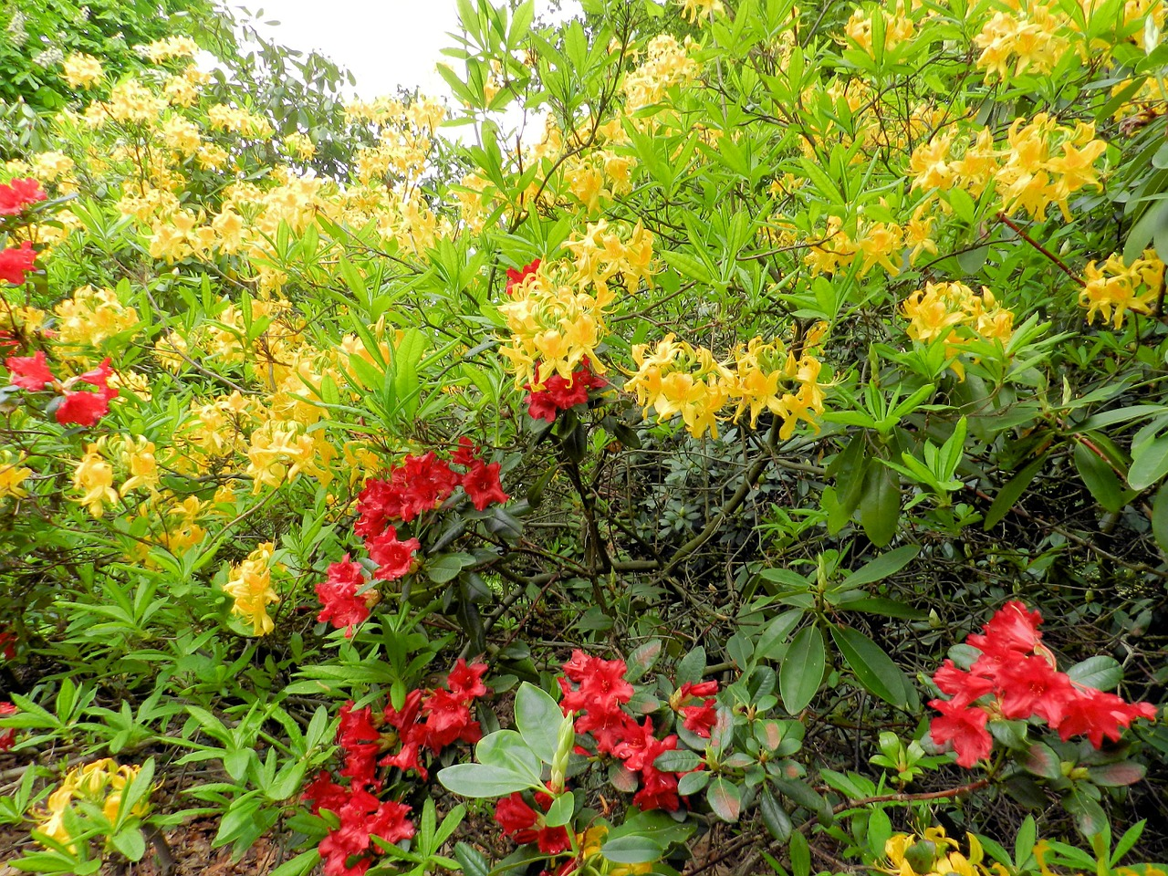 azalea flowers bush free photo