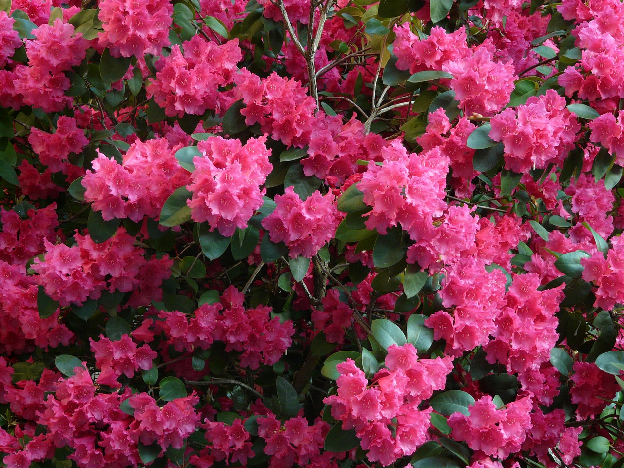 azalea,rhododendron,flowers,bloom,colorful,bright,plant,spring,free pictures, free photos, free images, royalty free, free illustrations, public domain
